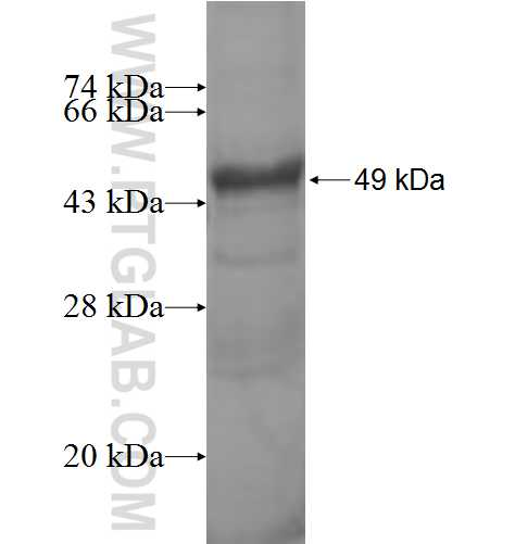 ASAM fusion protein Ag9111 SDS-PAGE