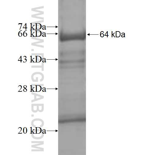 ASL fusion protein Ag10007 SDS-PAGE