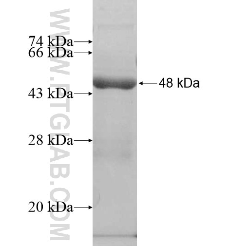 ATAD1 fusion protein Ag10343 SDS-PAGE