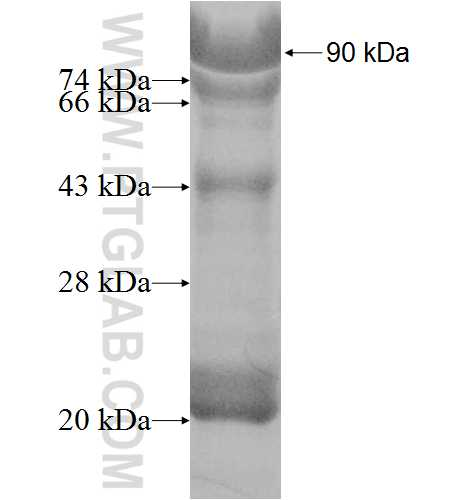 ATF6B fusion protein Ag8502 SDS-PAGE