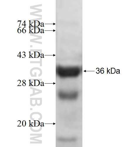 ATP6V1E1 fusion protein Ag7839 SDS-PAGE