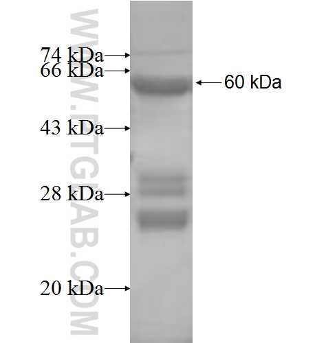 ATPAF1 fusion protein Ag8506 SDS-PAGE