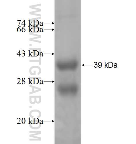 ATRIP fusion protein Ag7695 SDS-PAGE