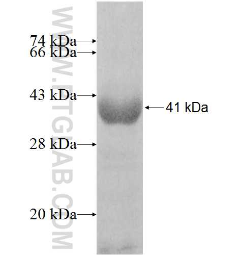 ATXN10 fusion protein Ag8254 SDS-PAGE