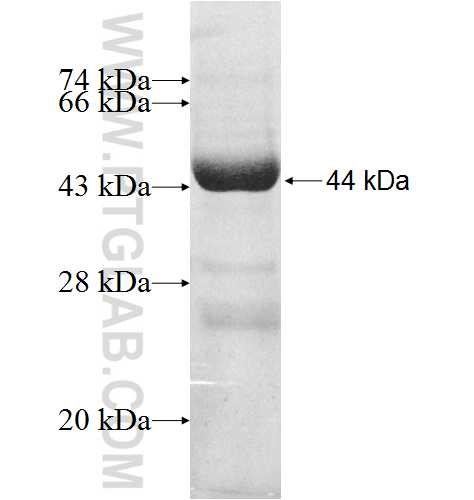 B3GNT1 fusion protein Ag8644 SDS-PAGE