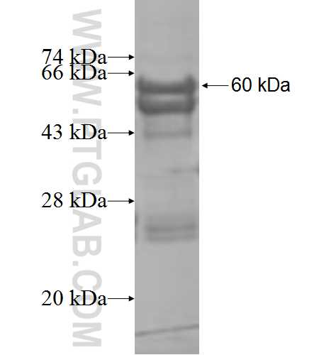B3GNT1 fusion protein Ag8660 SDS-PAGE