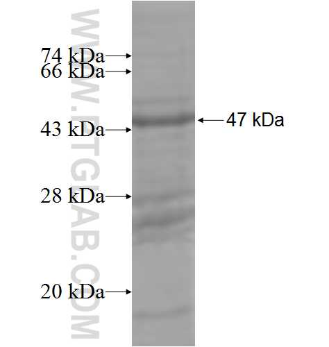 B7-1 fusion protein Ag5615 SDS-PAGE