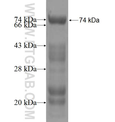BAG4 fusion protein Ag4905 SDS-PAGE