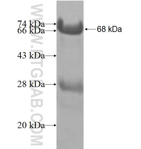 BCCIP fusion protein Ag8934 SDS-PAGE