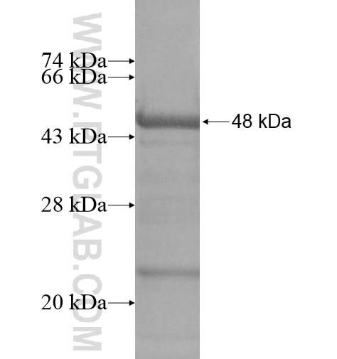 BEST4 fusion protein Ag13015 SDS-PAGE
