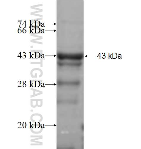 BMPR1B fusion protein Ag5545 SDS-PAGE