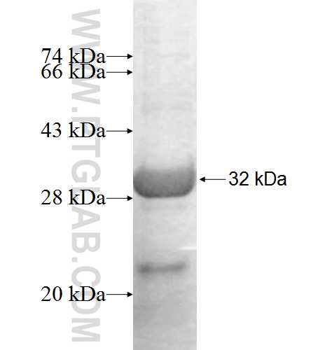 BNIP1 fusion protein Ag8969 SDS-PAGE