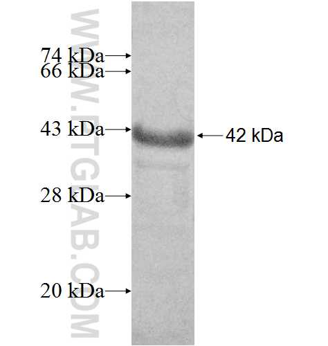 BRMS1 fusion protein Ag9104 SDS-PAGE