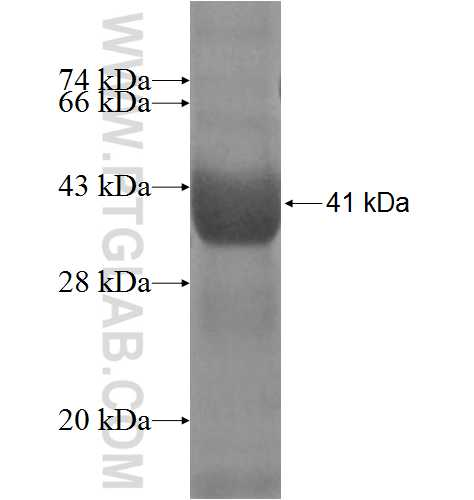 BRUNOL6 fusion protein Ag4970 SDS-PAGE