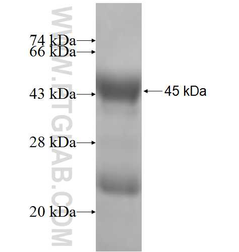 BTG1 fusion protein Ag6651 SDS-PAGE