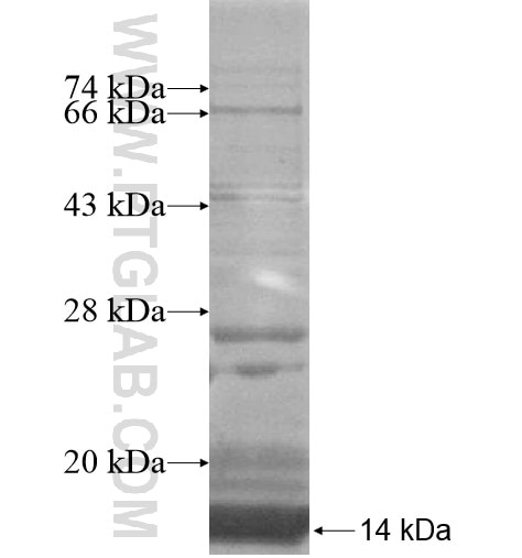 C16orf14 fusion protein Ag15057 SDS-PAGE