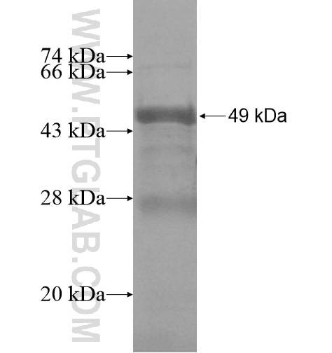 C16orf68 fusion protein Ag14197 SDS-PAGE