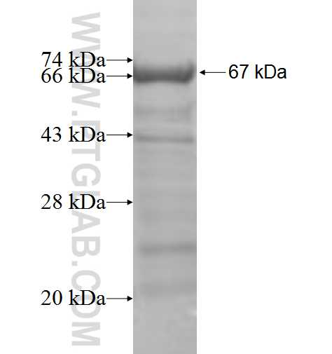 C1S fusion protein Ag5977 SDS-PAGE