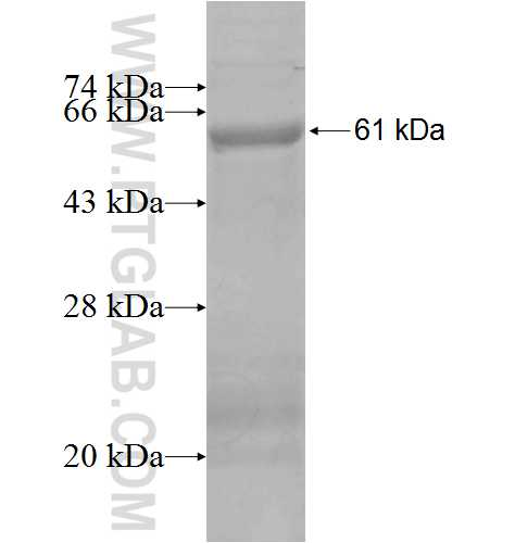 CA11 fusion protein Ag7712 SDS-PAGE