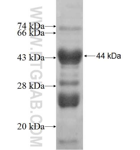 CABC1 fusion protein Ag7509 SDS-PAGE