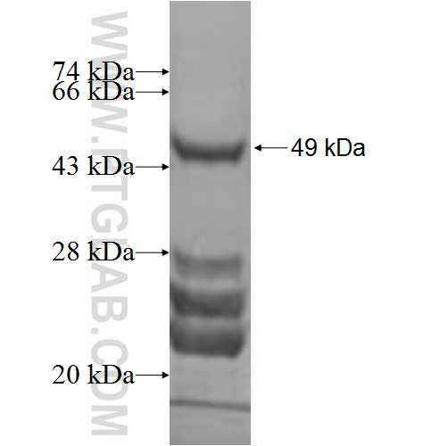 Caspase 4 fusion protein Ag2429 SDS-PAGE