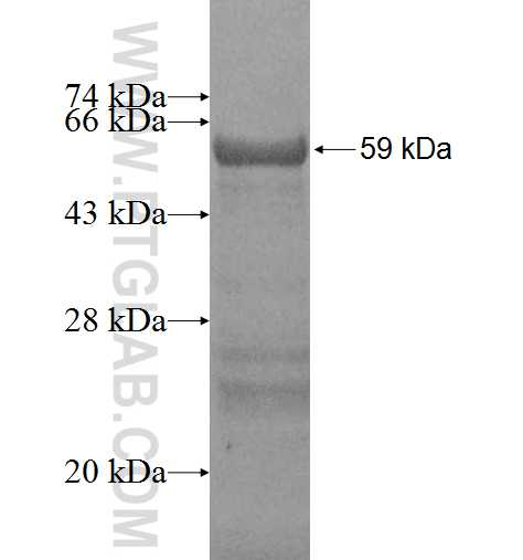 CCBP2 fusion protein Ag1941 SDS-PAGE