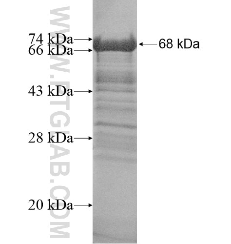 CCDC130 fusion protein Ag14396 SDS-PAGE