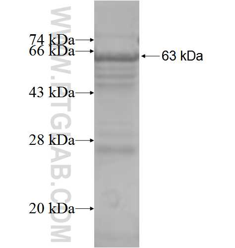 CCT6B fusion protein Ag3321 SDS-PAGE
