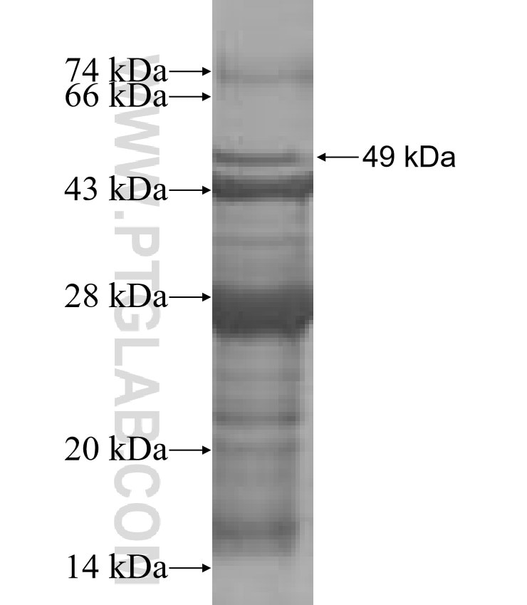 CD2 fusion protein Ag0423 SDS-PAGE