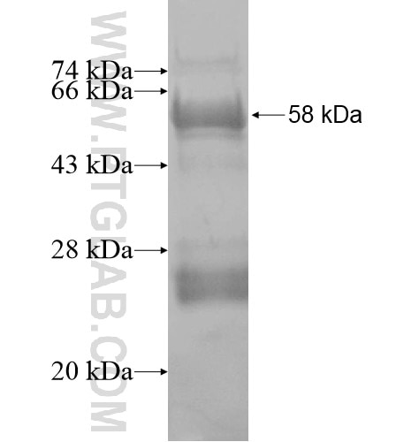 CD248 fusion protein Ag13334 SDS-PAGE