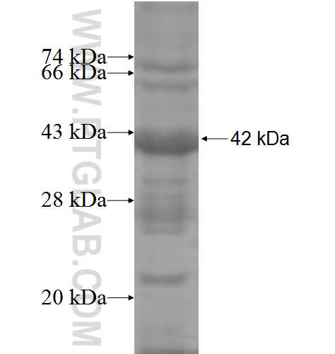 CD34 fusion protein Ag5996 SDS-PAGE