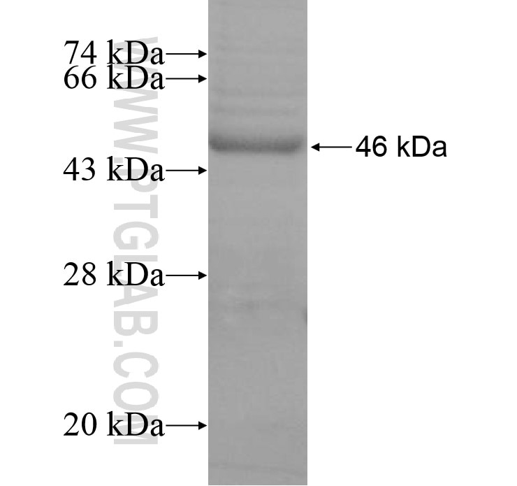 CD37 fusion protein Ag15384 SDS-PAGE