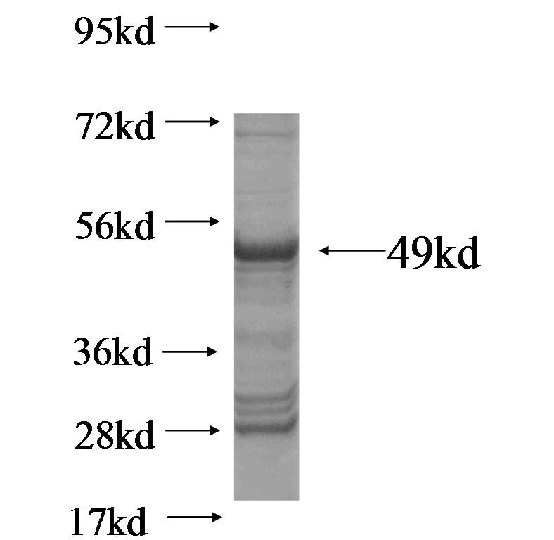 CD3E fusion protein Ag0889 SDS-PAGE