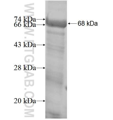 CDH13 fusion protein Ag3295 SDS-PAGE