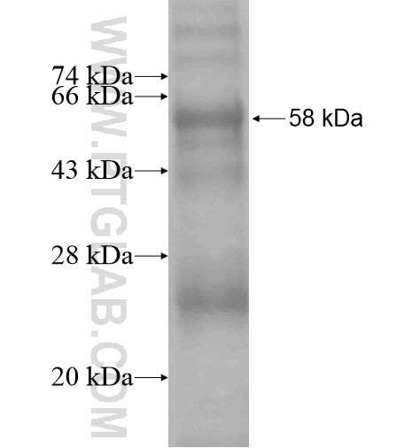 CHRM2 fusion protein Ag15859 SDS-PAGE