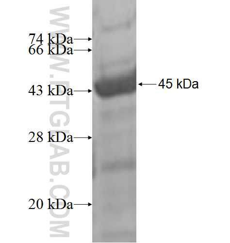 CHST12 fusion protein Ag7648 SDS-PAGE