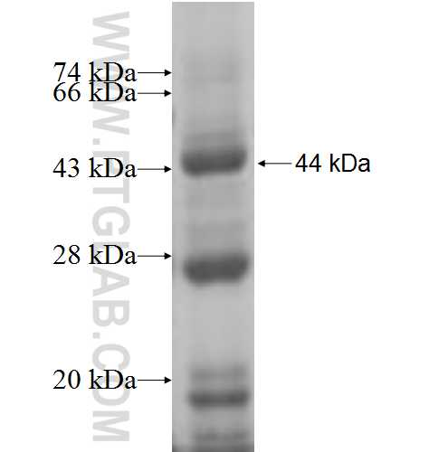 CHST15 fusion protein Ag5805 SDS-PAGE