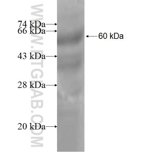CLP1 fusion protein Ag6479 SDS-PAGE