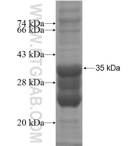 CLSTN3 fusion protein Ag4107 SDS-PAGE