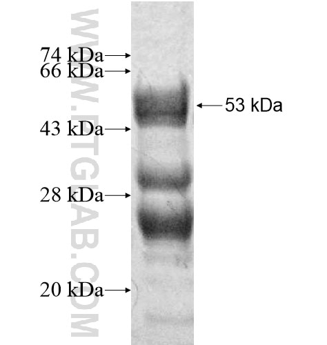 CNO fusion protein Ag12975 SDS-PAGE