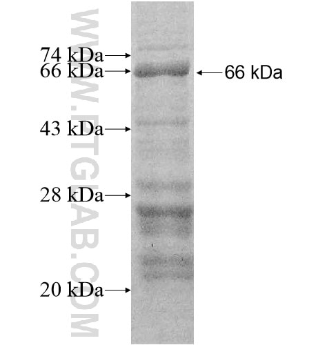 CNTN5 fusion protein Ag11966 SDS-PAGE