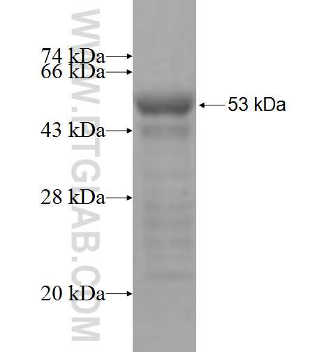 COLEC11 fusion protein Ag7374 SDS-PAGE