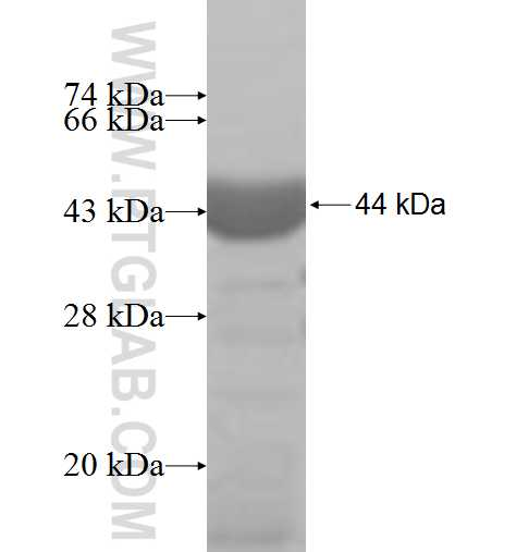 COPB2 fusion protein Ag6551 SDS-PAGE