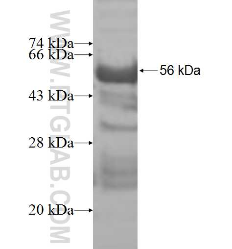 COPS7A fusion protein Ag9958 SDS-PAGE