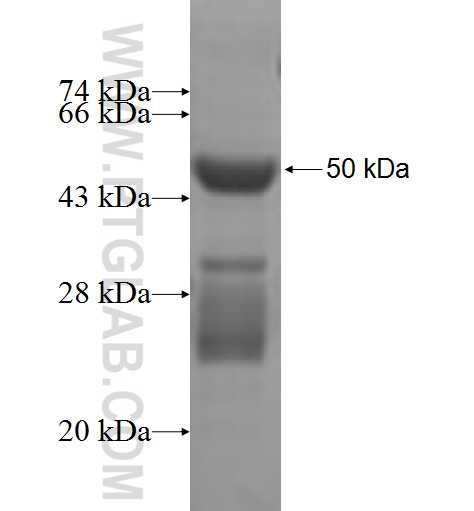 COQ7 fusion protein Ag7161 SDS-PAGE