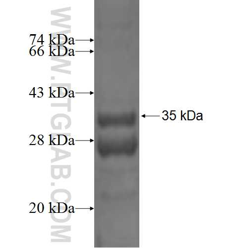 COX6C fusion protein Ag1982 SDS-PAGE