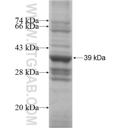 COX7A2L fusion protein Ag1980 SDS-PAGE