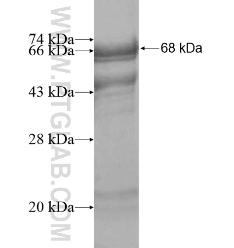 CRLF1 fusion protein Ag10396 SDS-PAGE