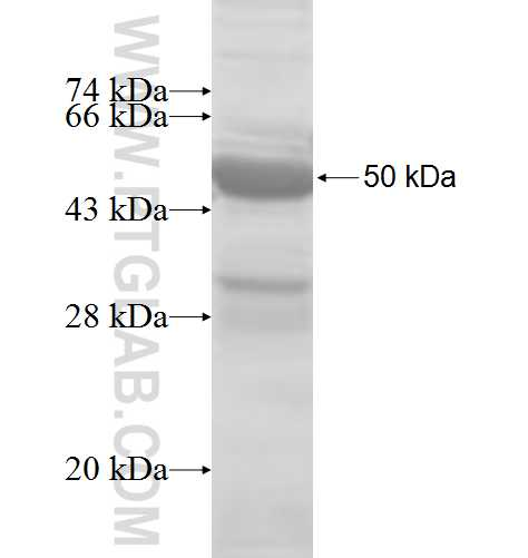 aB-Crystallin fusion protein Ag8543 SDS-PAGE