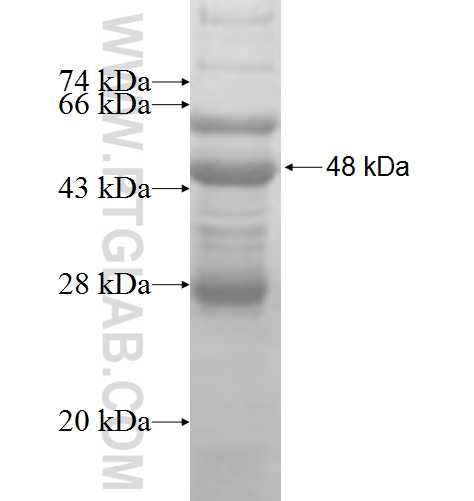 CRYBA2 fusion protein Ag8222 SDS-PAGE